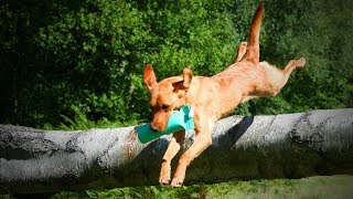 Funny Labradors 🐶😊 Cute and Funny Labradors (Full) [Funny Pets]