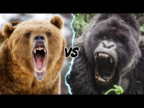 GORILLA VS GRIZZLY - WHO WOULD WIN IN A FIGHT?