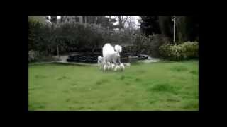 "Valentijn Visit Highly....golden Retriever Pup ""playtime"" With Standard Poodle!"