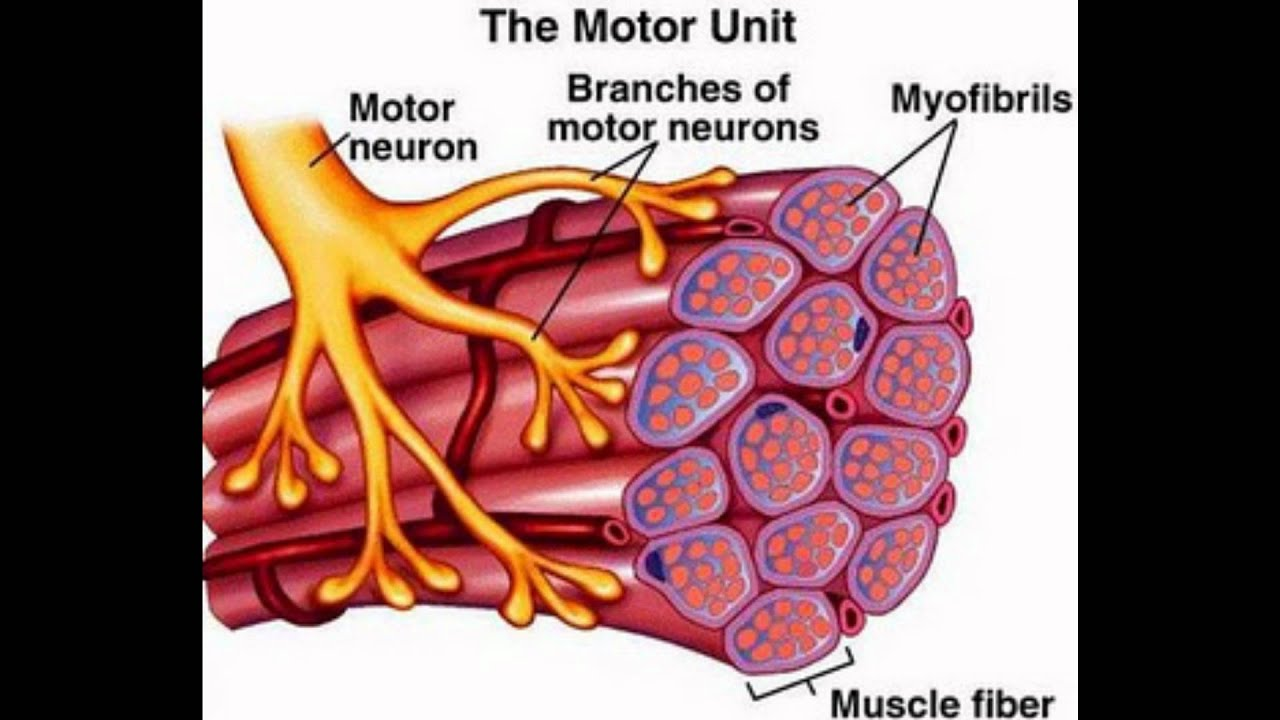 Mechanism Of Muscle Contraction Youtube