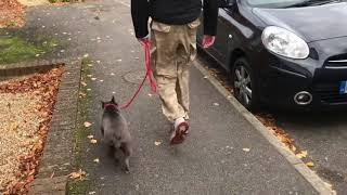 French bulldog first Training session