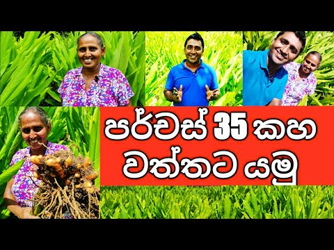 Large scale Commercial Organic Turmeric Cultivation in Sri Lanka