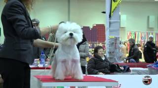 West Highland White Terrier Intermedia Maschio