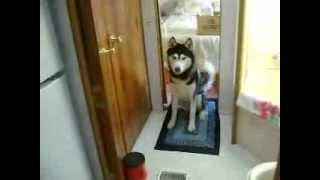 Siberian Husky Sneaks In The Trailer