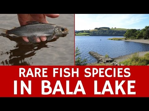 Rare Fish Species in Bala Lake – Interesting Facts about Wales
