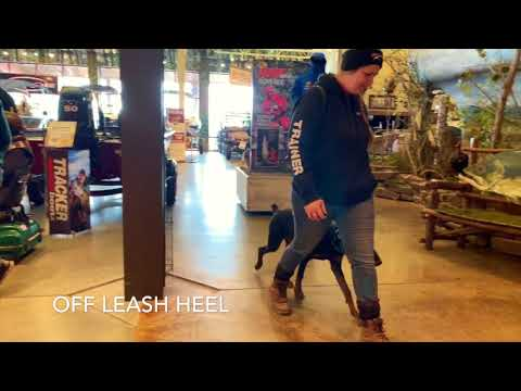Best Dog Training Toledo, Ohio! 6 Month Old Doberman Pinscher, Nyla