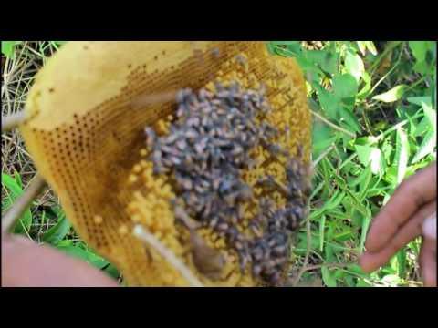 Охота на мёд диких лесных пчел в Камбодже.  Часть 1