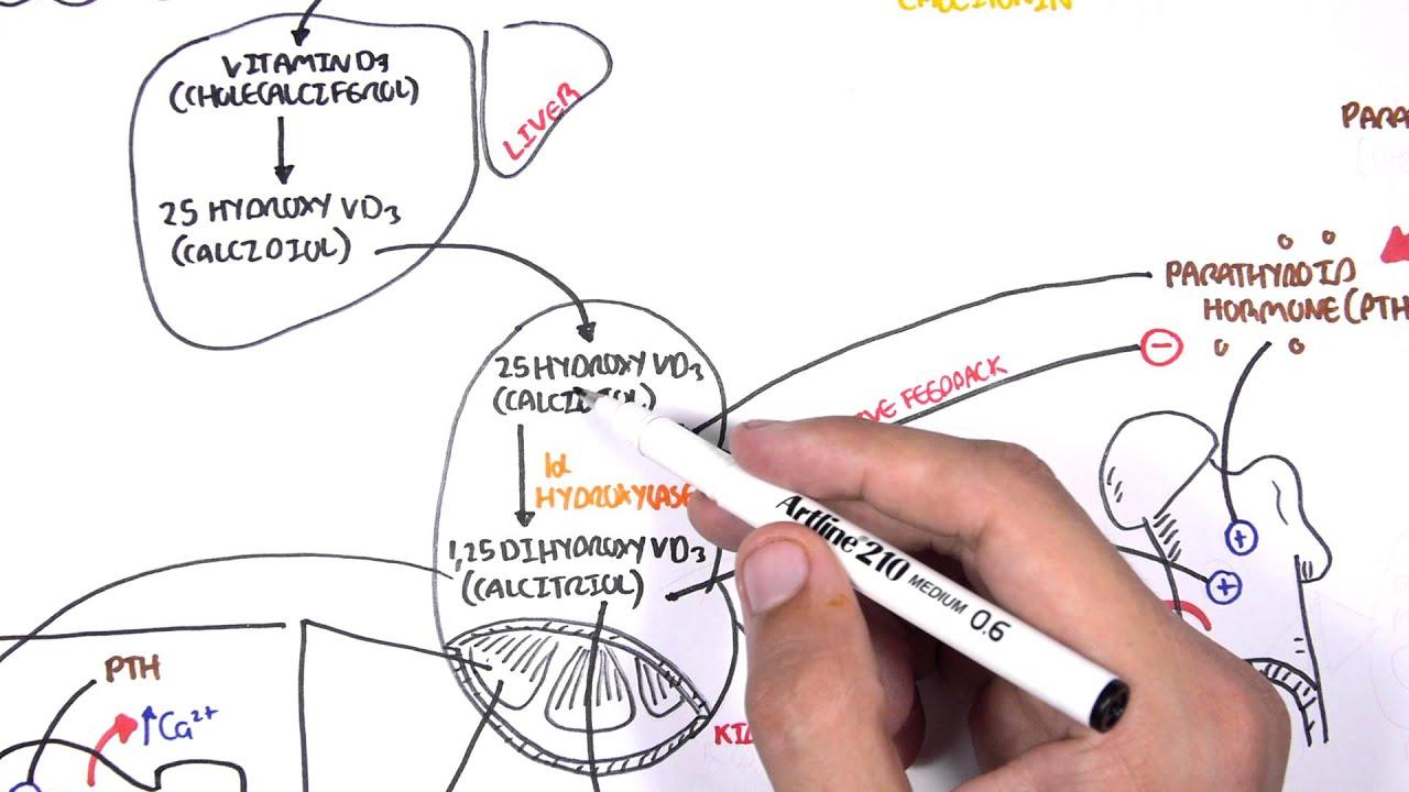 endocrinology calcium and phosphate regulation youtube Parathyroid Calcium Vitamin D