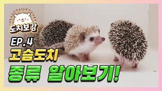 고슴도치 종류는 어떻게 나눠질까?! (Feat.도치야)