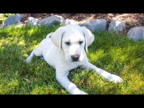 White English Labrador Puppy in Training - Diabetic Alert Dog Training