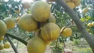 Khám phá vườn bưởi Diễn lớn nhất Thanh Hóa