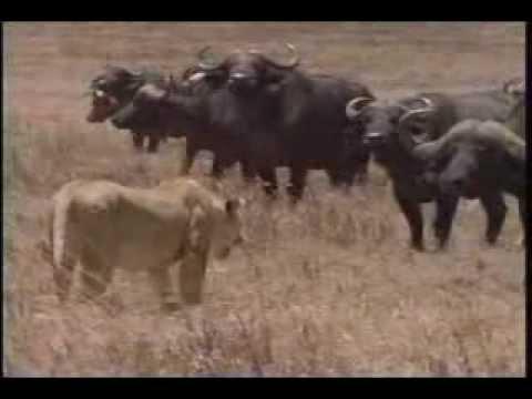 Sư tử và đàn trâu rừng - cuộc chiến sinh tồn - Video Schoolnet