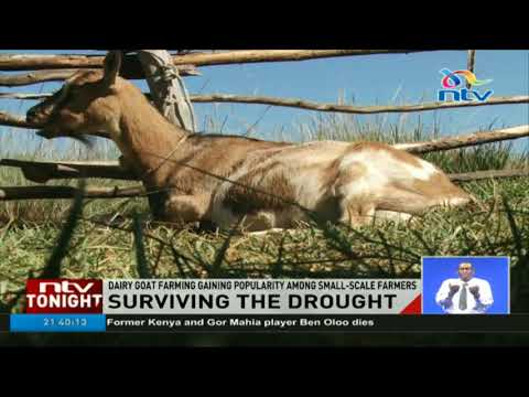 Semi-arid areas encouraged to adopt dairy goat breeds instead of cows
