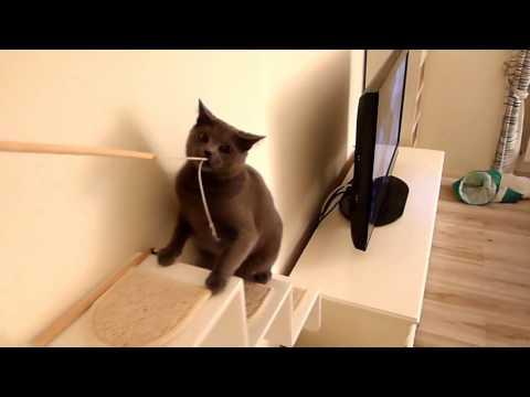BALBINA, kot kartuski 10 m-cy (chartreux cat) - 6. PATYK