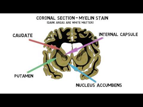 2-Minute Neuroscience: Striatum