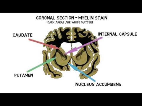 2-Minute Neuroscience: Striatum