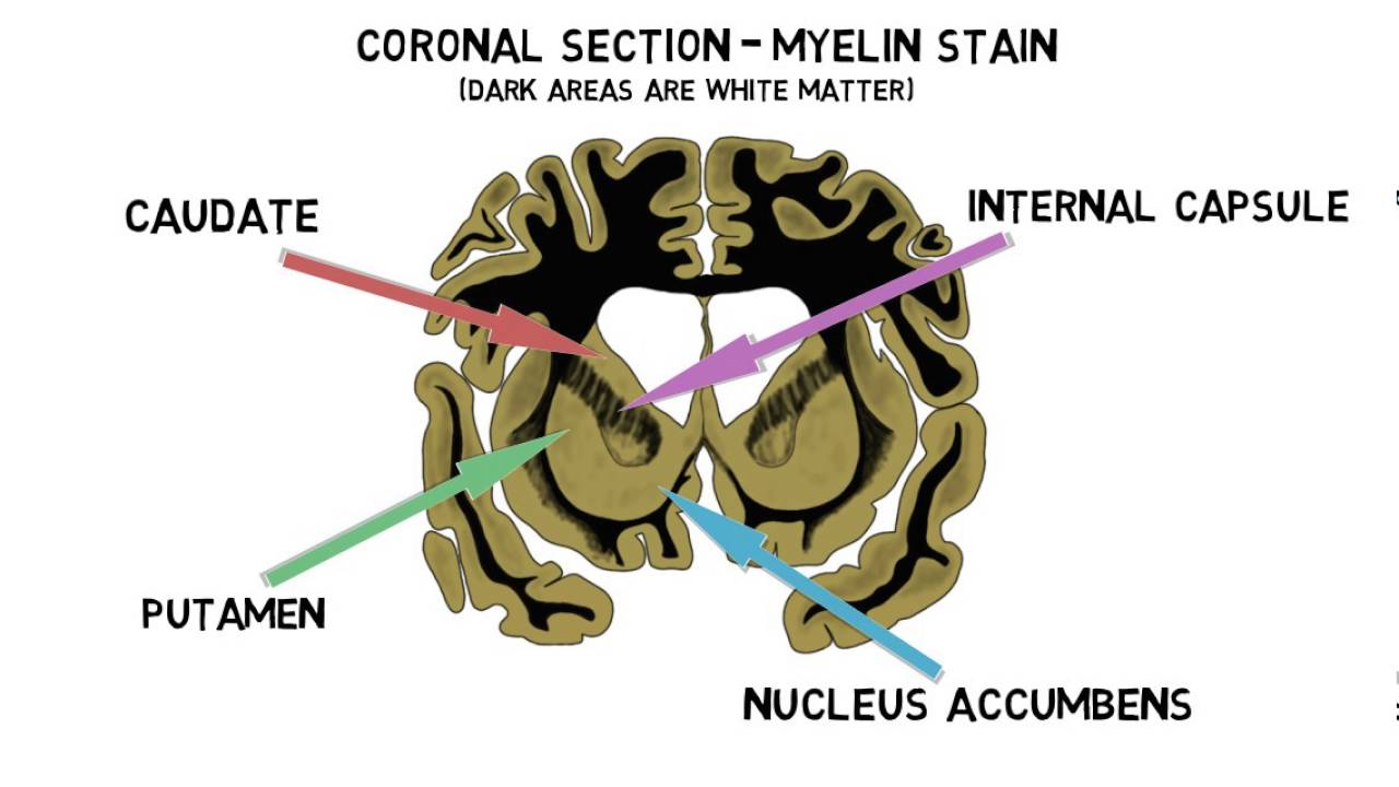 2 minute neuroscience striatum youtube ccuart Image collections