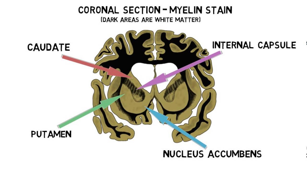 2 minute neuroscience striatum youtube ccuart Images