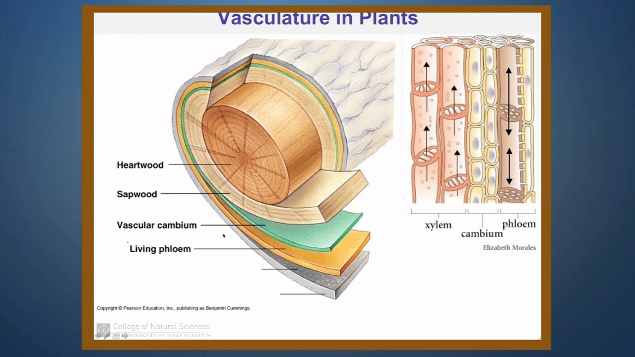 Transport Of Water In The Xylem Of Plants Part 1
