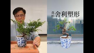 秋∣2019-2 系魚川真柏塑形創作∣舍利盤曲樹型∣請點選字幕 ◤林慶祥盆景藝術教學◢ Juniperus chinensis var. Bonsai in Taiwan
