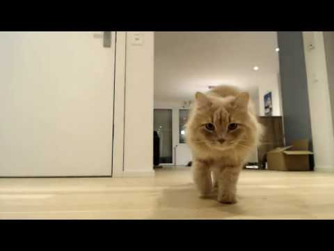 Live: Siberian cats left alone at home for an hour - what will the cats do?