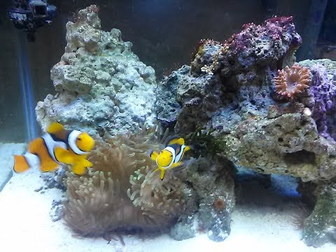 Clownfish Breeding Live Stream 08.06.17  Hatch Night. True Percula Marine #Fishroom
