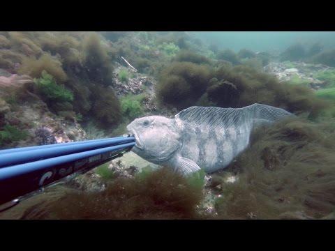Spearfishing Atlantic Wolffish/Seawulf.