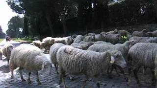 羊さんを守っているわんこもいました。写真 動画 旅行 犬 わんこのwww.o...