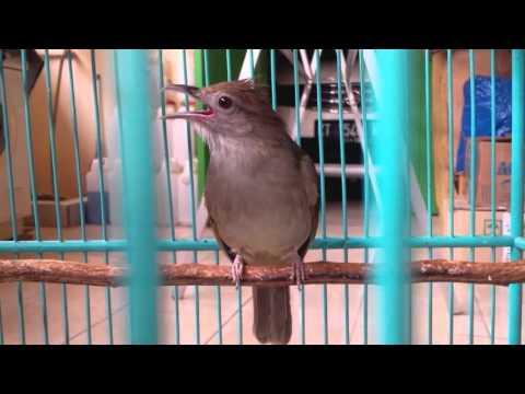 Suara Burung Kapas Tembak  2016