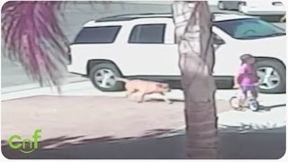 Hero Cat Saves Toddler From Dog Attack   Poke My Heart