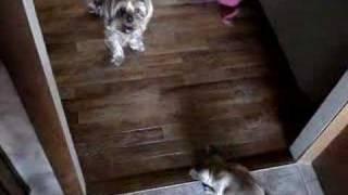 French Bulldog Vs. Yorkshire Terrier