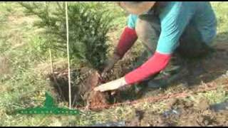 2 - How To Plant A Formal Hedge