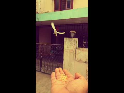 #BIRDLOVE Free flying Dove by Abhiram Inturi.