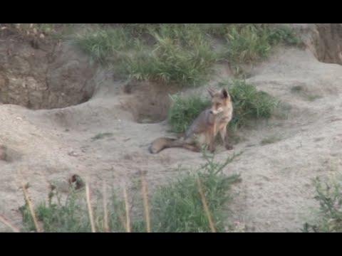 El zorro en su h�bitat natural