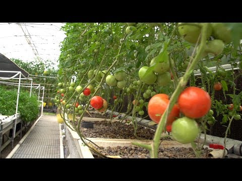 Growing Tomatoes in Aquaponics