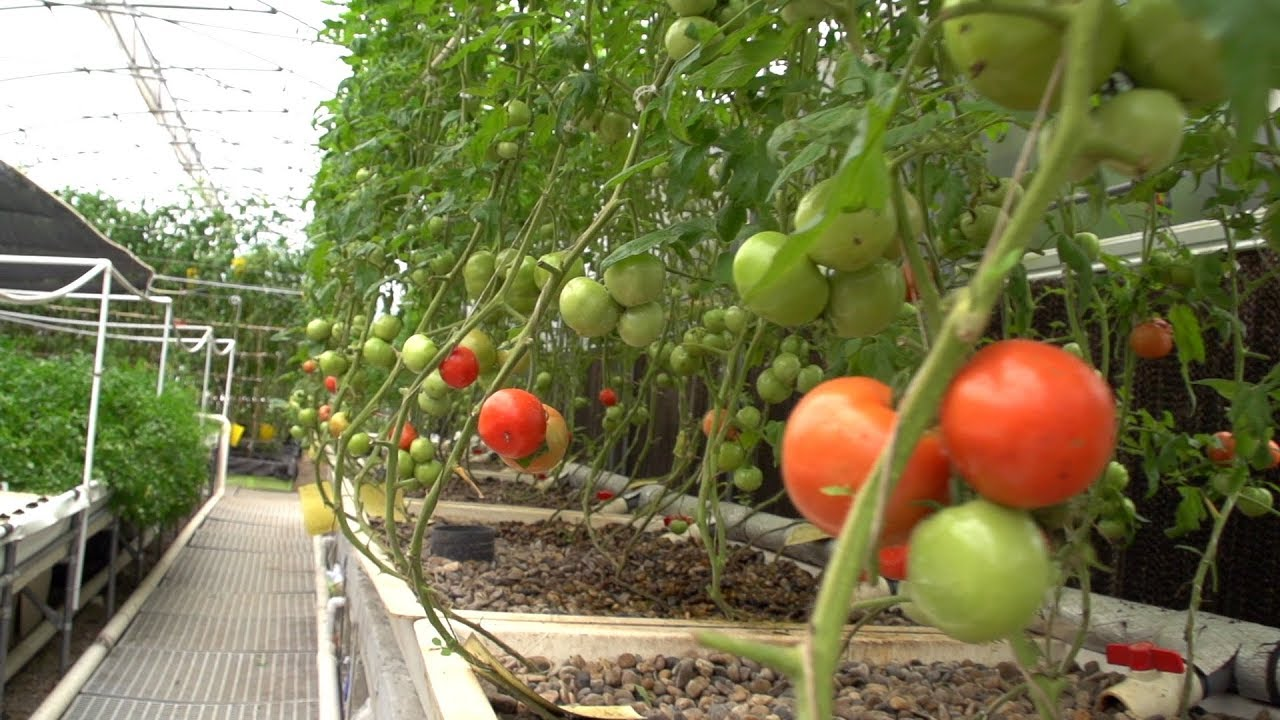 Growing Tomatoes In Aquaponics Youtube