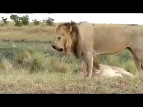 Zebra Attack And Kill Lion  Lion Severely Injured On Zebra Attack