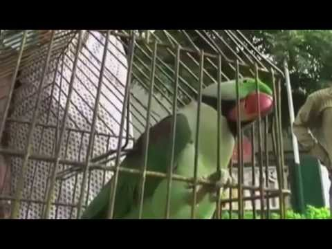 India: Meet Hariyal, the foul-mouthed parrot detained for insulting elderly woman