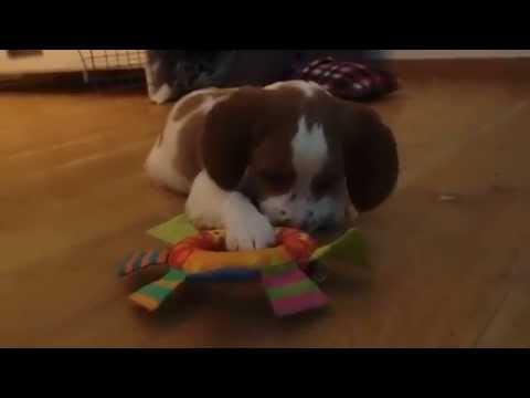 Abbie chewing -  8 weeks old puppy Brittany dog/Epagneul breton/Bretaňský ohař