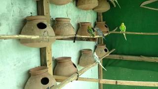 NEW PAIRS IN BUDGIES COLONY