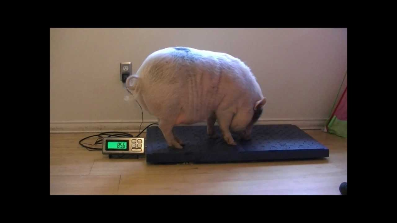 How much does a pig weigh 76