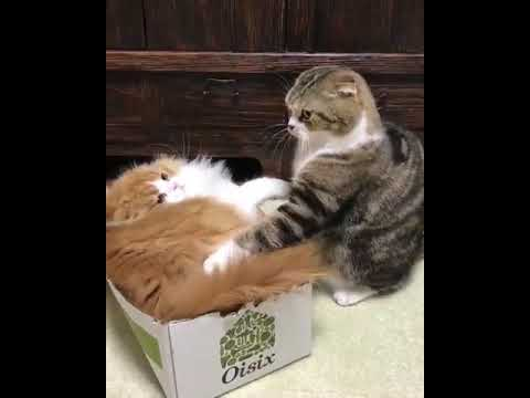 "Cats Fighting for box "" The Box"""
