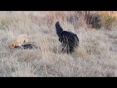 Ben the Newfoundland with Leo & Kaya
