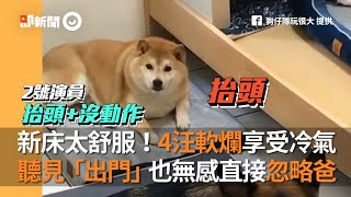 新床太舒服!4隻狗狗軟爛享受冷氣 聽見「起床出門」也無感直接忽略爸|寵物|柴犬|米格魯|德國狼犬|養到假的狗?