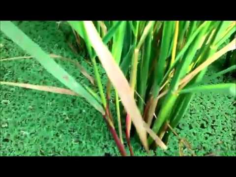 Azolla as Bio-fertilizer in our paddy fields