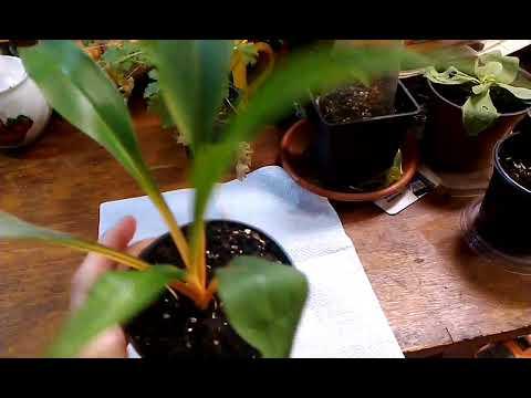Хлорофитум оранжевый