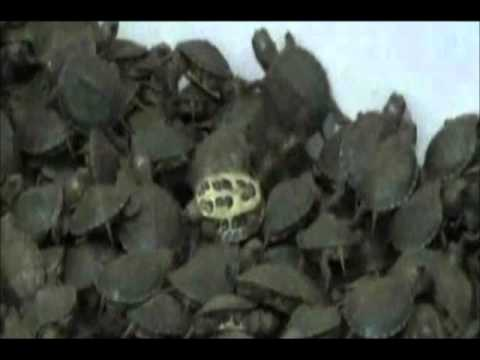 10.000 Turtles Seized In India