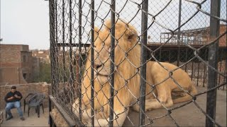 Keeping big cats as 'pets', a growing trend in Pakistan