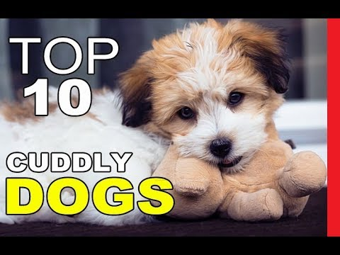 Top 10 Most Cuddly Dog Breeds