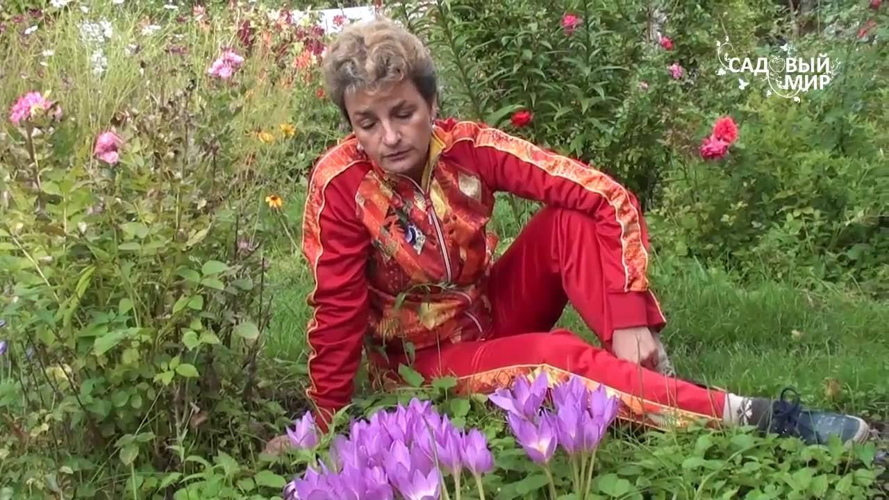 Сонник один цветок в горшке